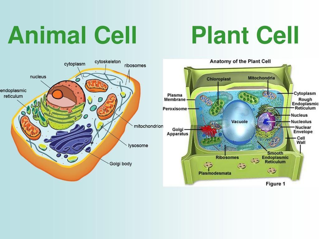 Famous Anatomy Of Animal Cell Model - Anatomy and Physiology Tissue ...
