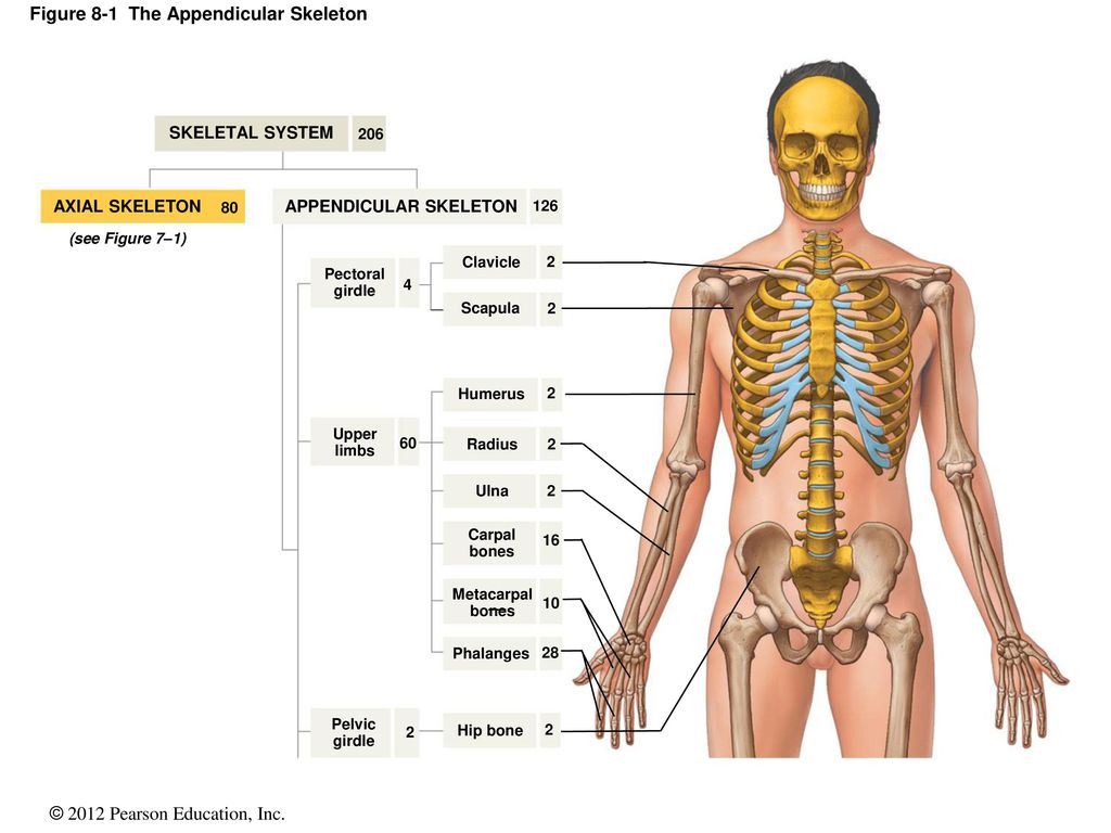 Figure 8 1 The Appendicular Skeleton
