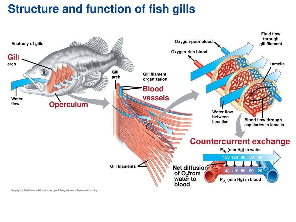 Nice Anatomy Of Fish Gills Photo - Physiology Of Human Body Images ...