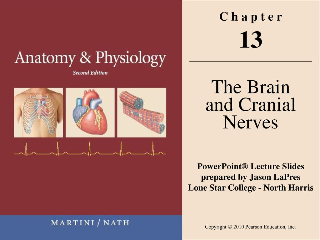 Contemporary Anatomy And Physiology Brain And Cranial Nerves Motif ...