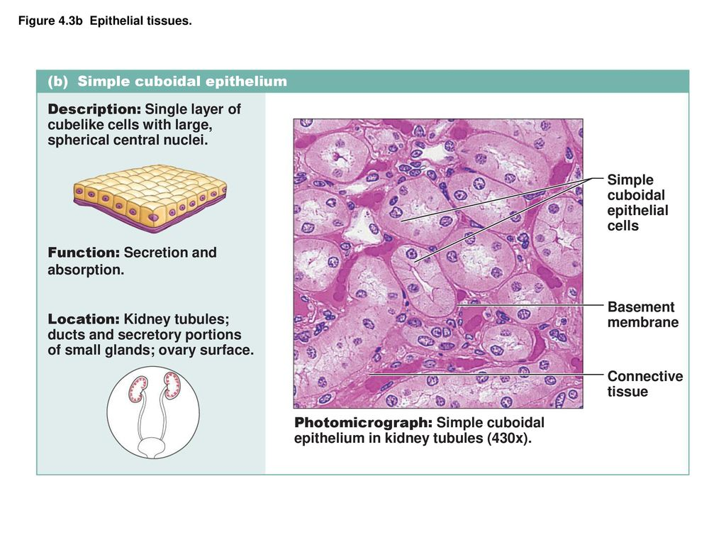 figure 4.3a epithelial tissues. - ppt download