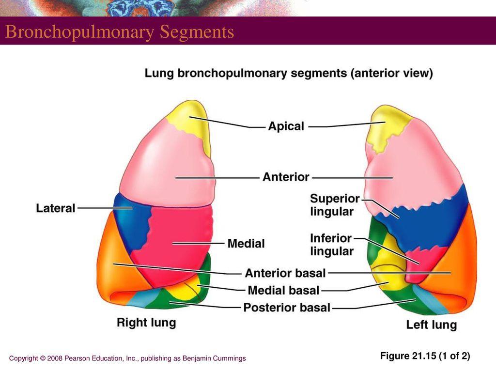 Perfect Lung Anatomy Segments Model - Human Anatomy Images ...