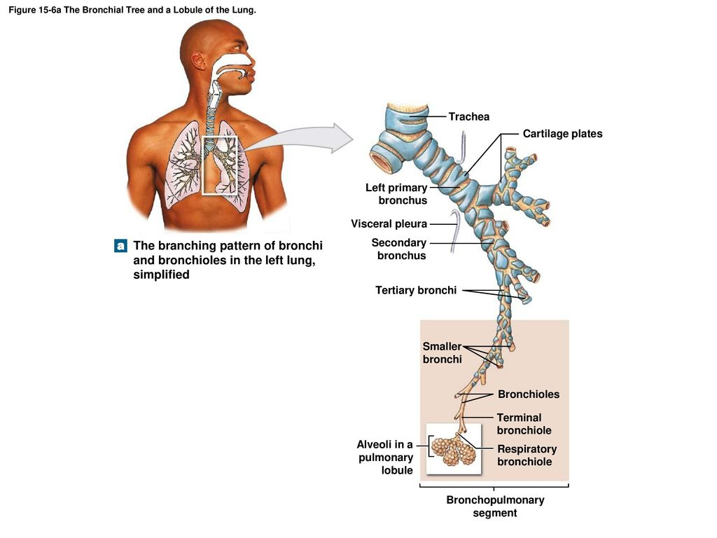 Anatomy Of Bronchial Tree Choice Image - human body anatomy