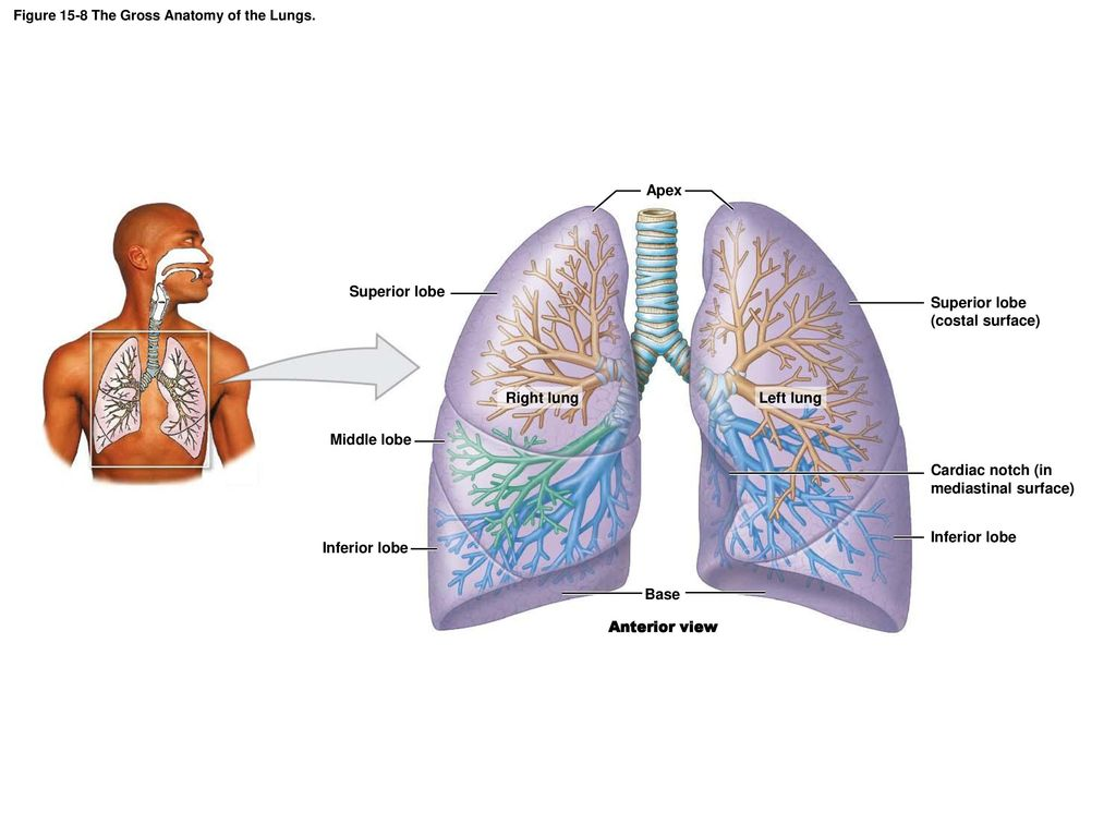 Exelent Surface Anatomy Lung Photos Human Anatomy Images