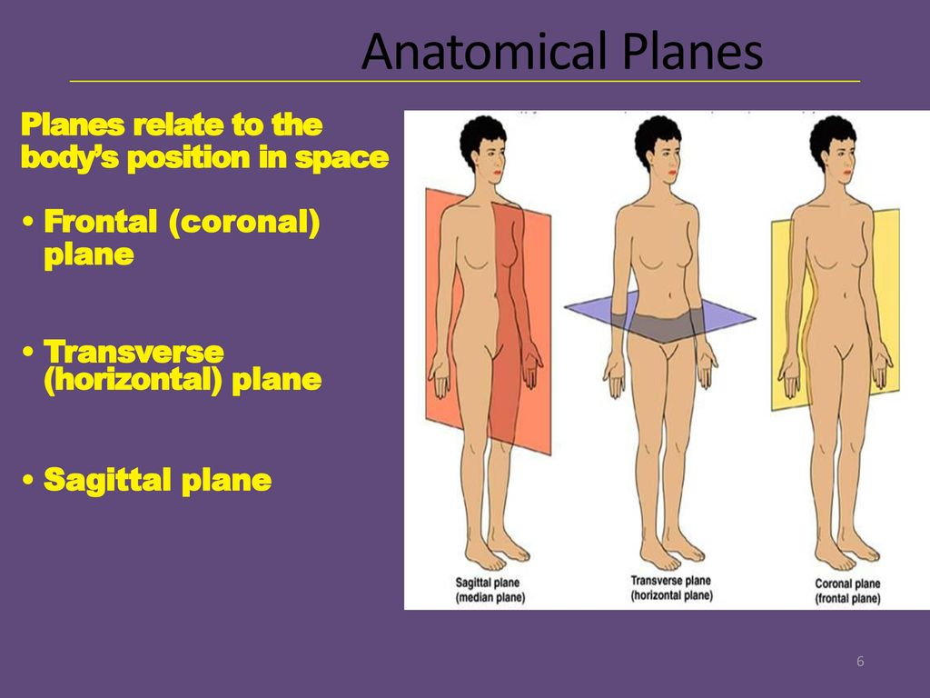 Awesome Anatomy Transverse Plane Ornament - Anatomy and Physiology ...