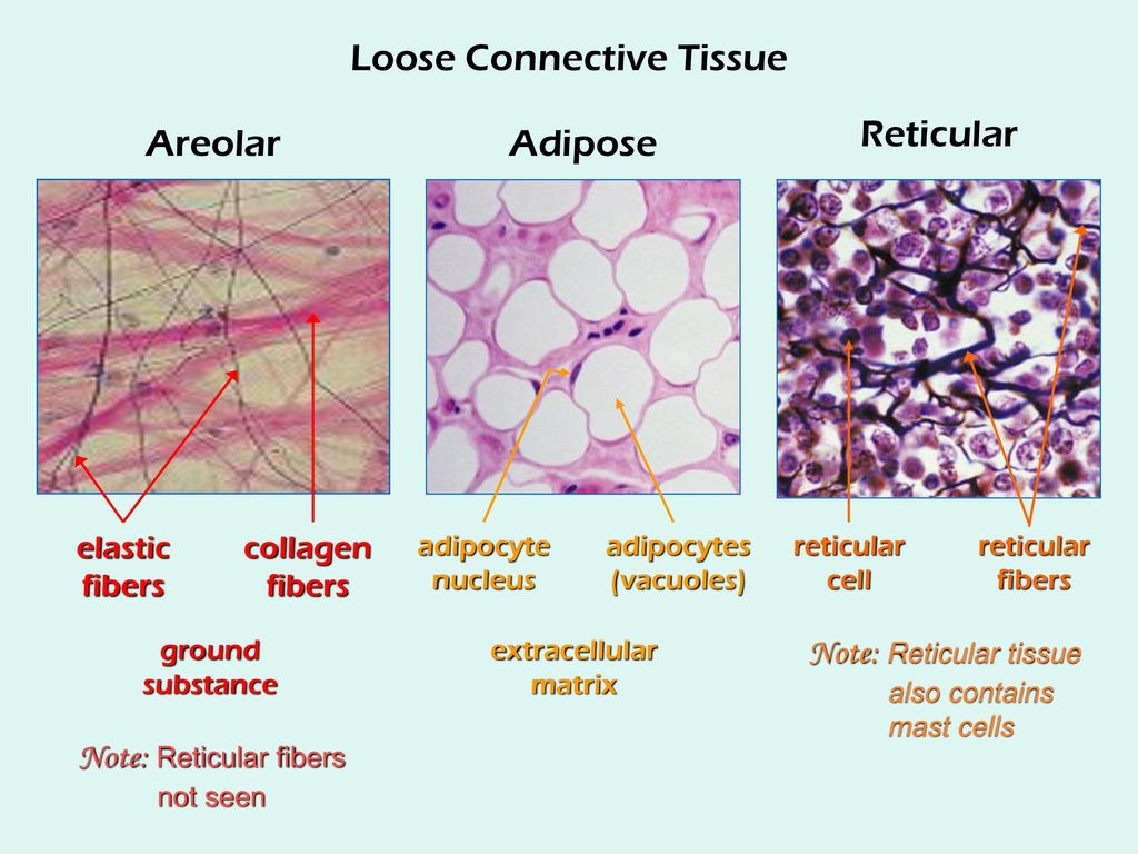 the study of the tissues of the body - ppt download