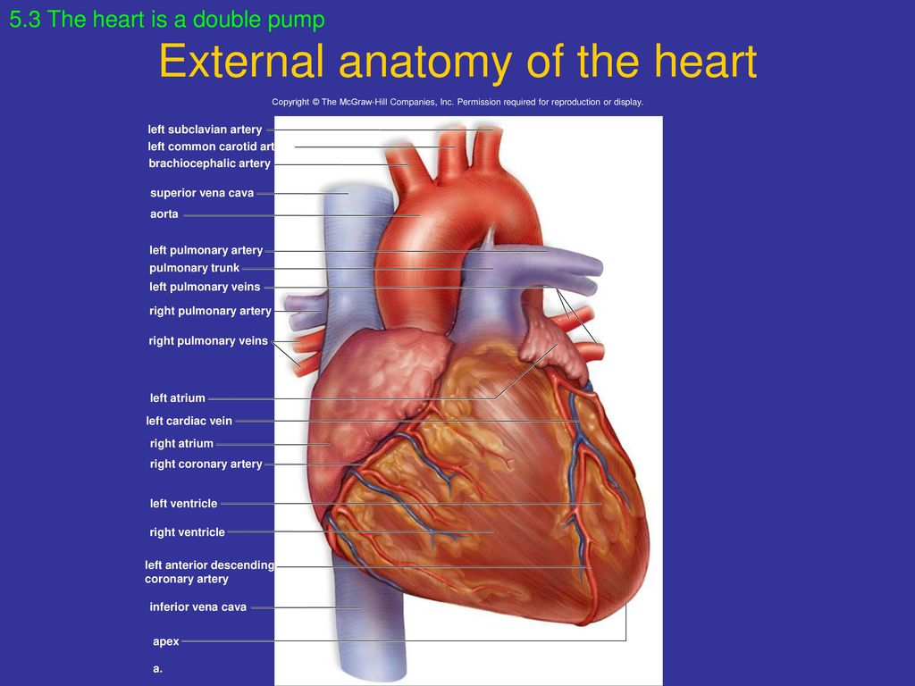 Chapter 5 Cardiovascular System: Heart and Blood Vessels. - ppt download