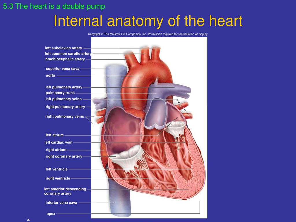 Fancy The Heart Internal Anatomy Pictures - Anatomy and Physiology ...