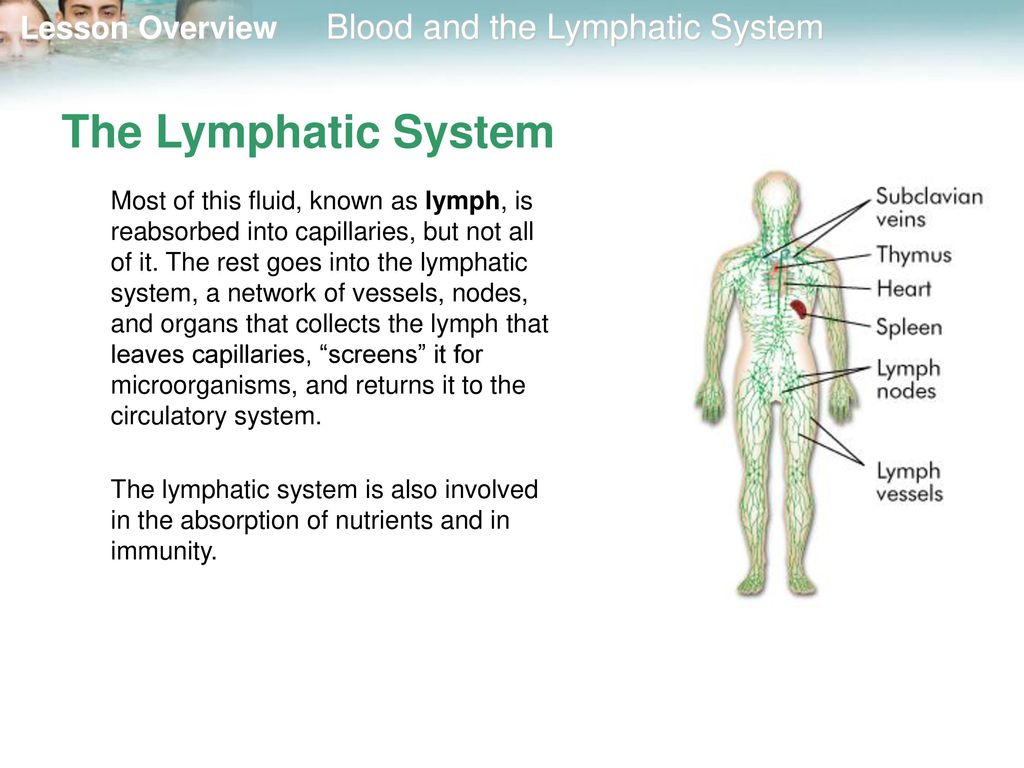 Picture Of The Lymphatic System Choice Image Human Body Organ Chart