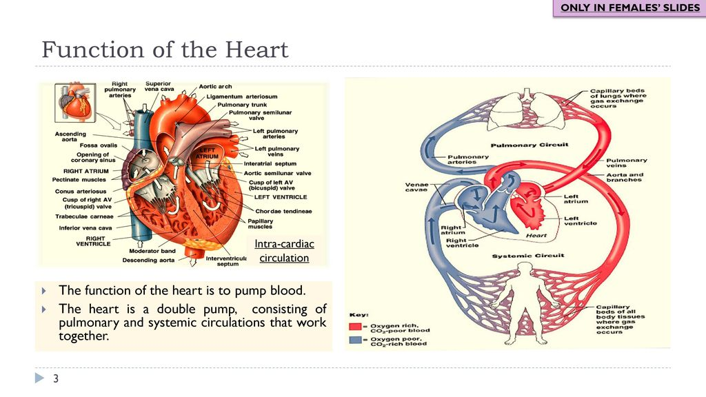 Physiology Team 436 – Cardiovascular Block Lectures 3&4