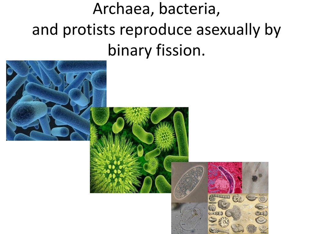 Which protist reproduces asexually by binary fission steps