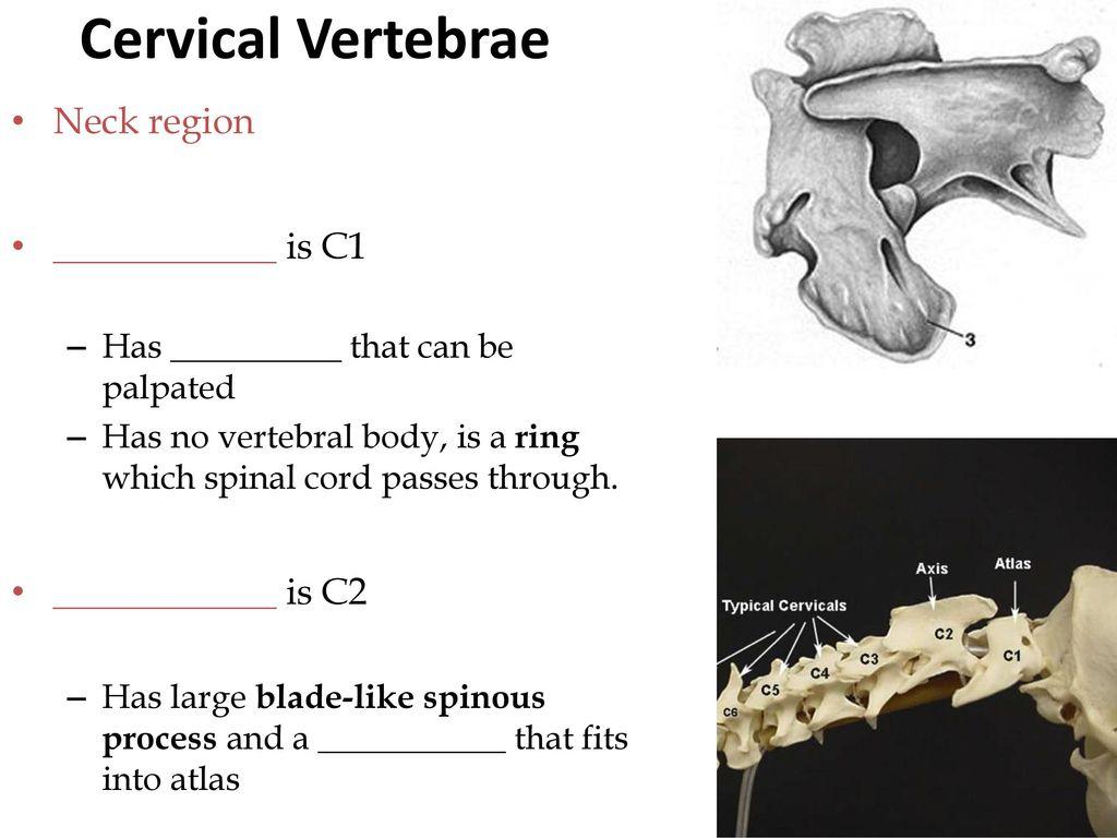 Exelent C1 Vertebral Body Anatomy Collection Anatomy And