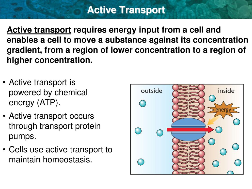 3 5 Active Transport Endocytosis And Exocytosis Ppt Download