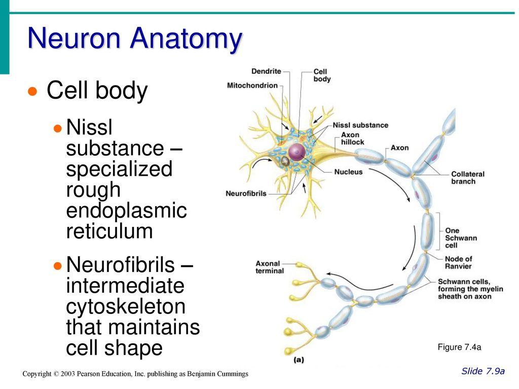Tolle Neuron Anatomy And Physiology Ideen - Anatomie Von ...