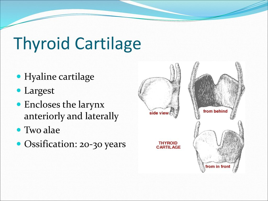 Anatomy and Physiology of the Larynx - ppt download