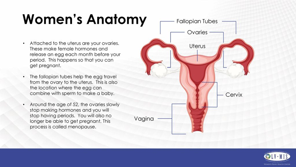 Colorful Anatomy Ovaries Location Model - Anatomy And Physiology ...