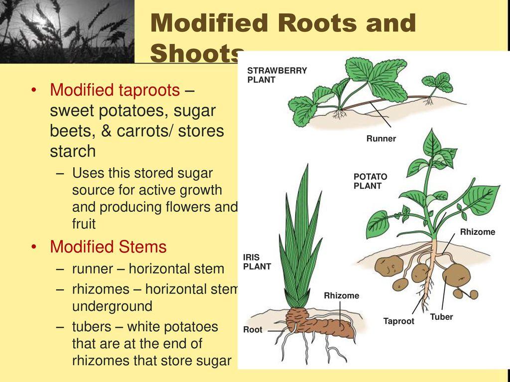 Modified plant shoots 81