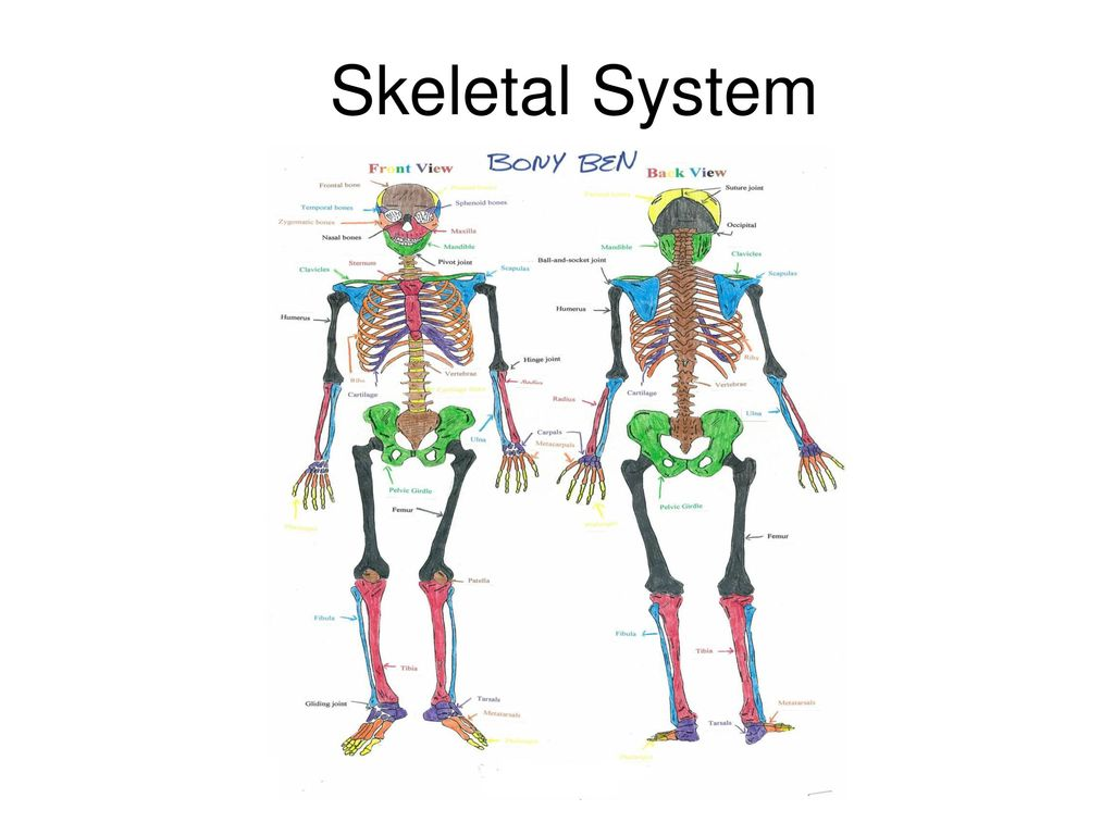 1 skeletal system