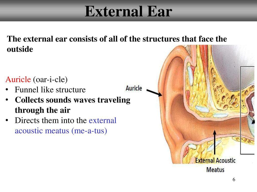 12.5: Hearing: External Ear - ppt download