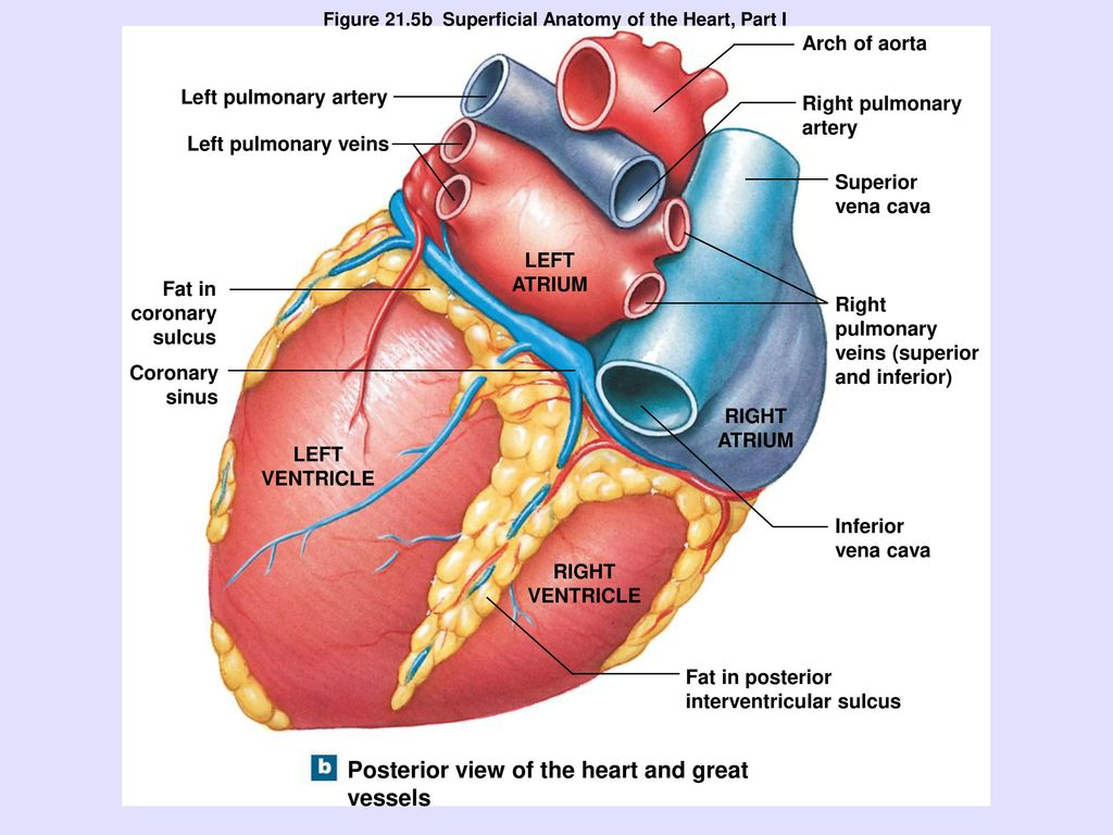 The Heart. - ppt download