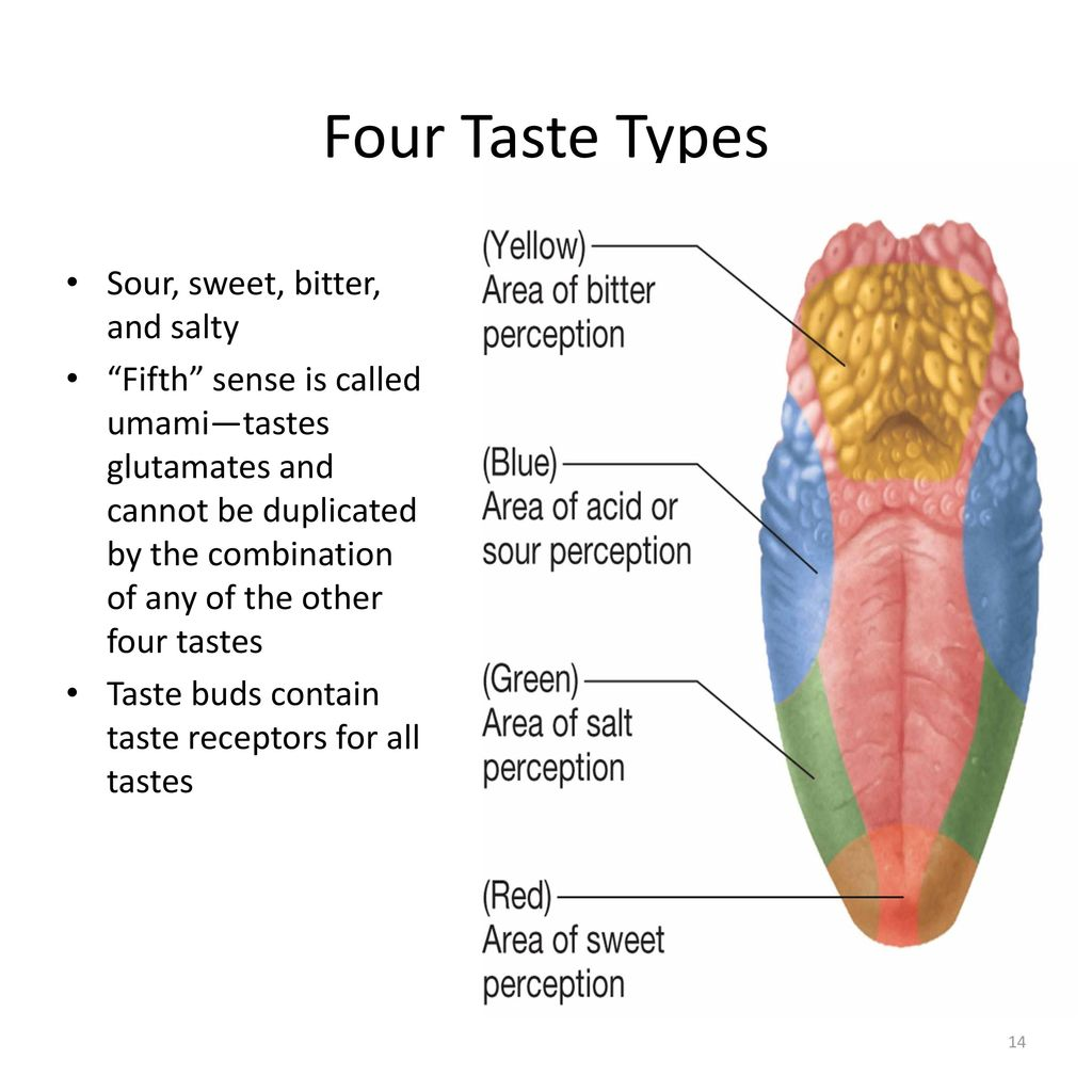 Enchanting Taste Buds Diagram Pattern - Anatomy and Physiology ...