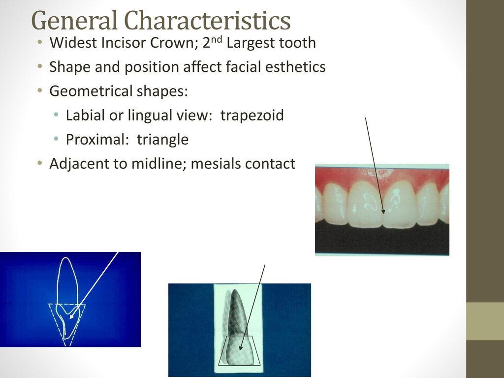 Modern Dental Anatomy And Morphology Model - Physiology Of Human ...