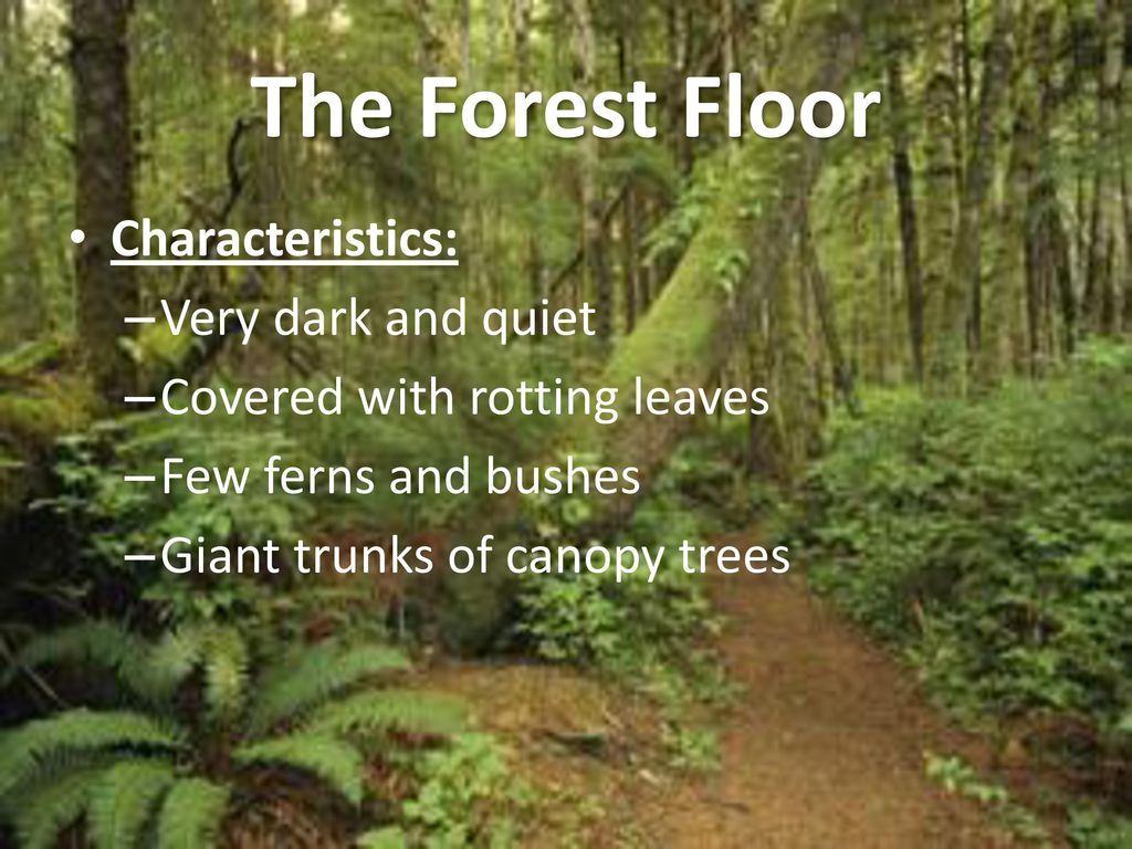 Layers Of The Rainforest Ppt Download