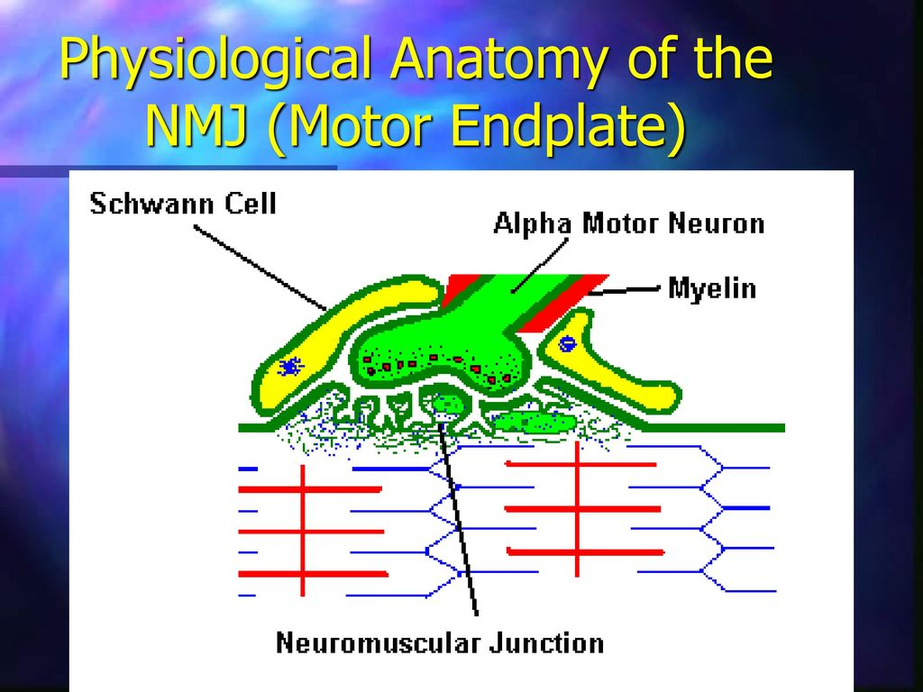 Lecture 15 Neuromuscular Junction Ppt Download