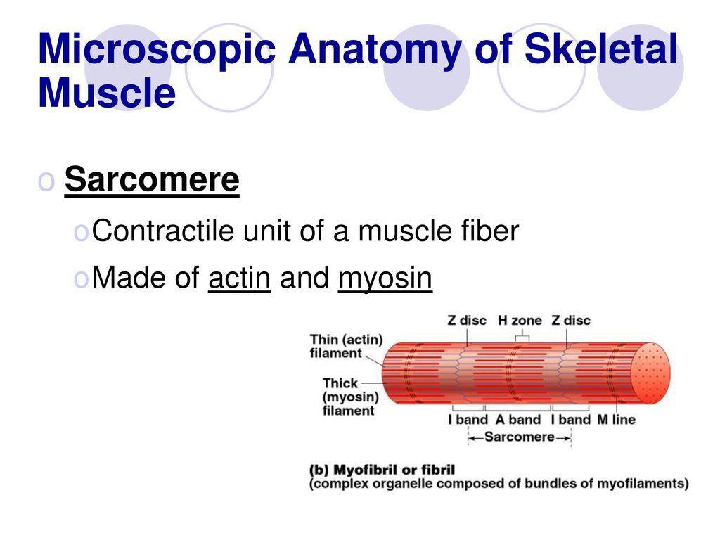 Colorful Skeletal Muscle Microscopic Anatomy Frieze - Anatomy and ...
