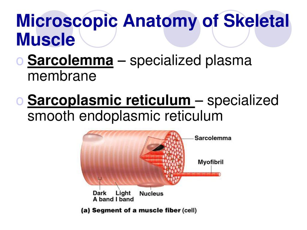 Chapter 6 The Muscular System - ppt download