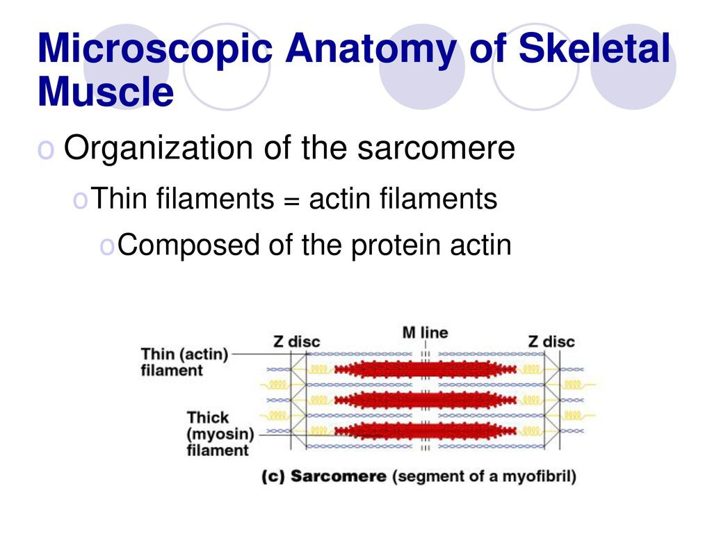 Outstanding Microscopic Anatomy And Organization Of Skeletal Muscle ...