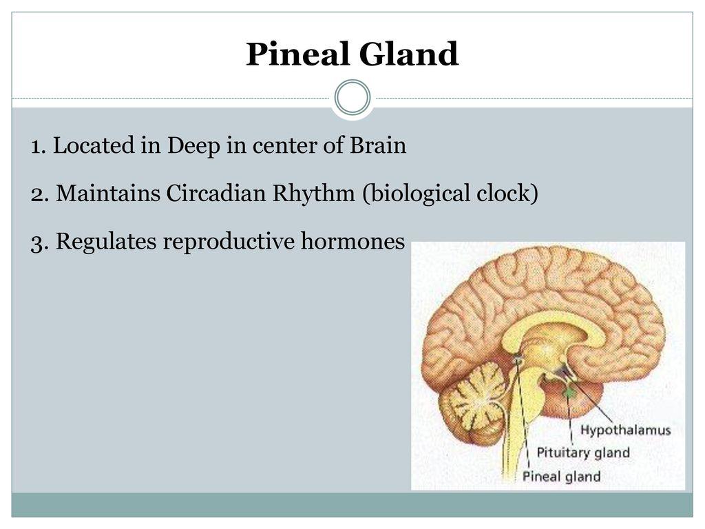 Anatomy Pineal Gland Choice Image - human anatomy diagram organs