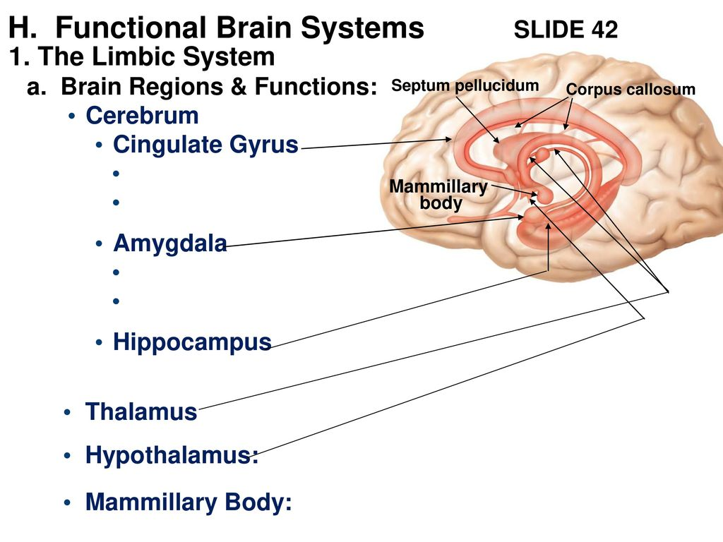 Ch 12 The Central Nervous System The Brain Ppt Download