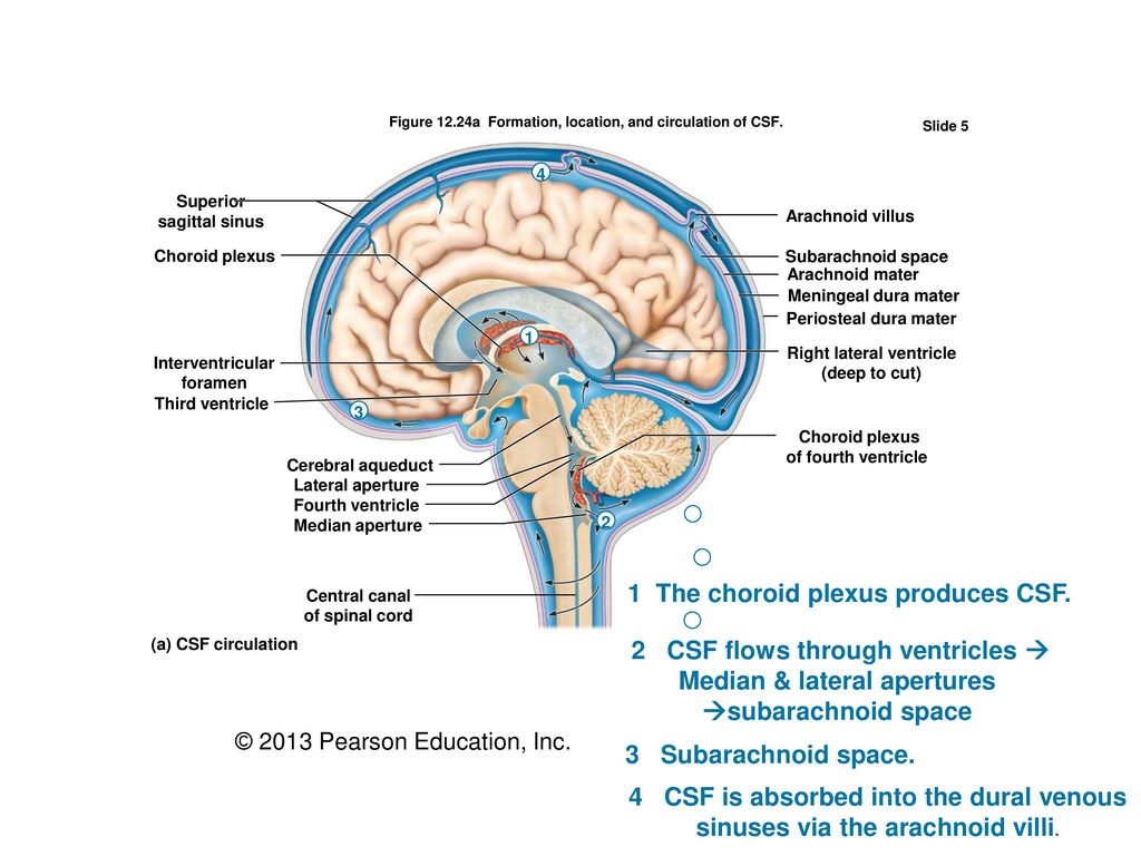 Ch. 12 The Central Nervous System– The BRAIN … - ppt download