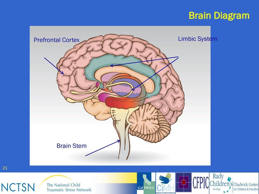 Child welfare trauma training toolkit ppt download 21 brain diagram limbic system ccuart Gallery