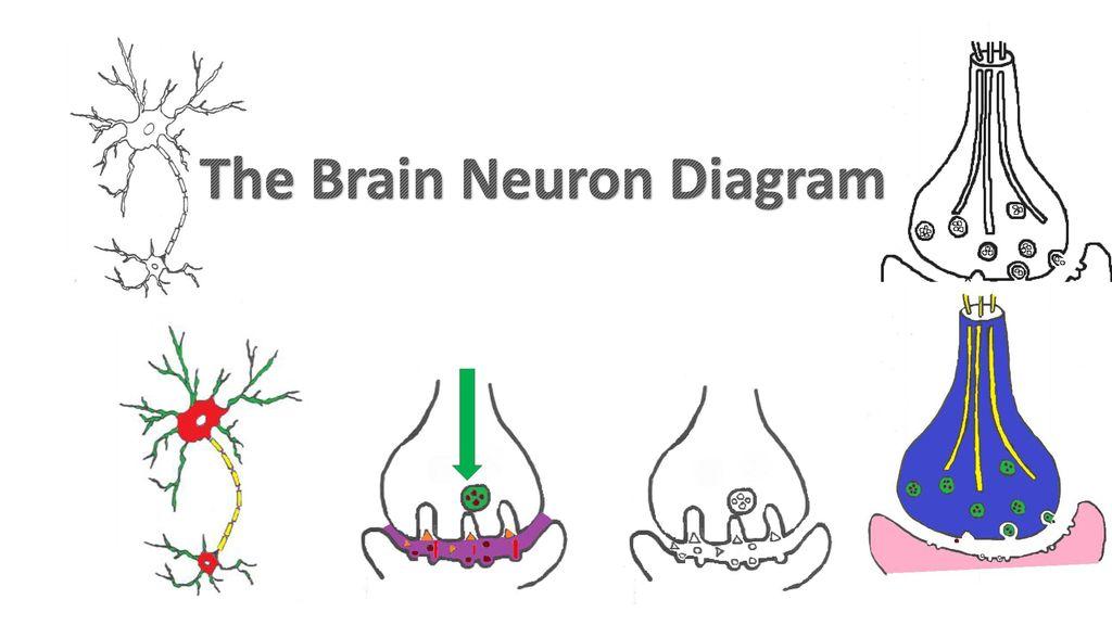 The Brain Neuron Diagram Ppt Download