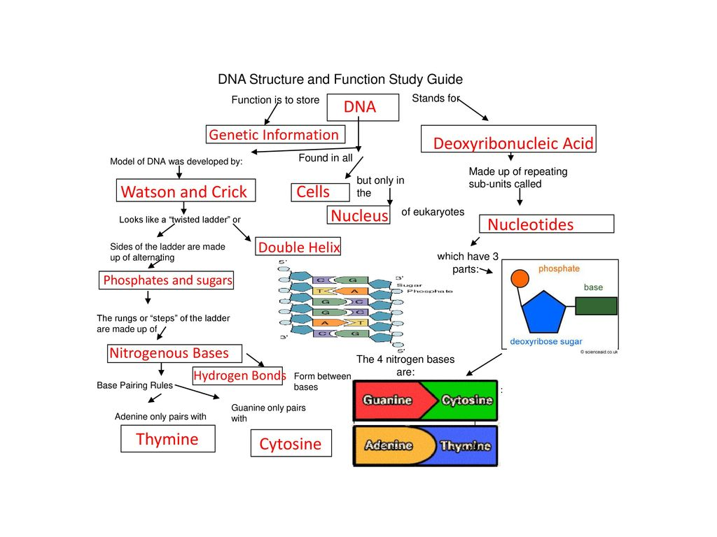 3 The 4 nitrogen bases are: DNA Structure and Function Study Guide ...