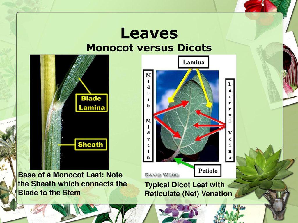 Flowering Plants: Monocot versus Dicots - ppt download