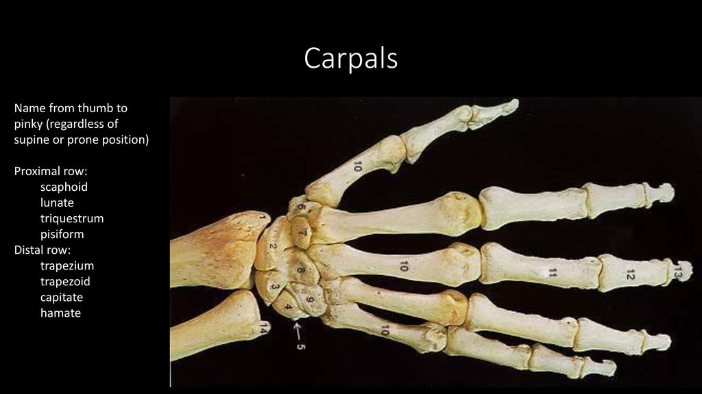 name the carpals medial to lateral in the proximal row