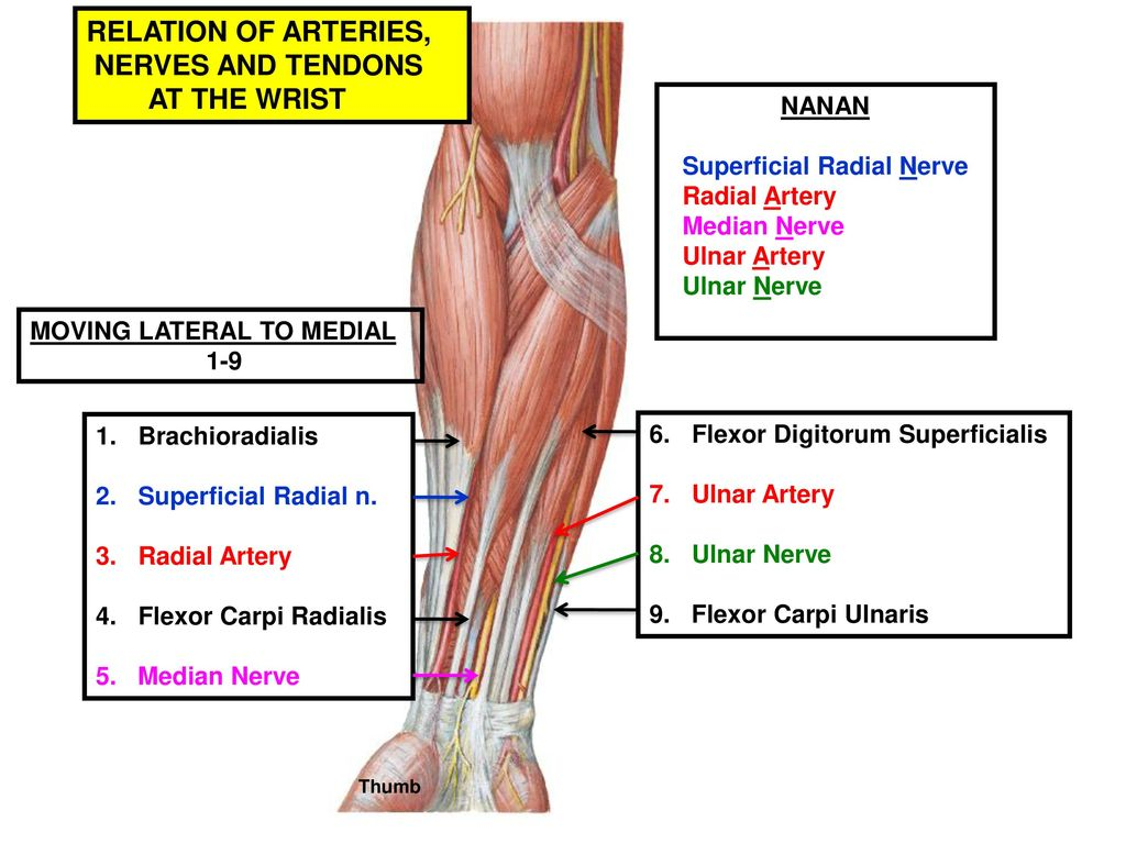 Muscles of the Anterior Forearm - ppt download