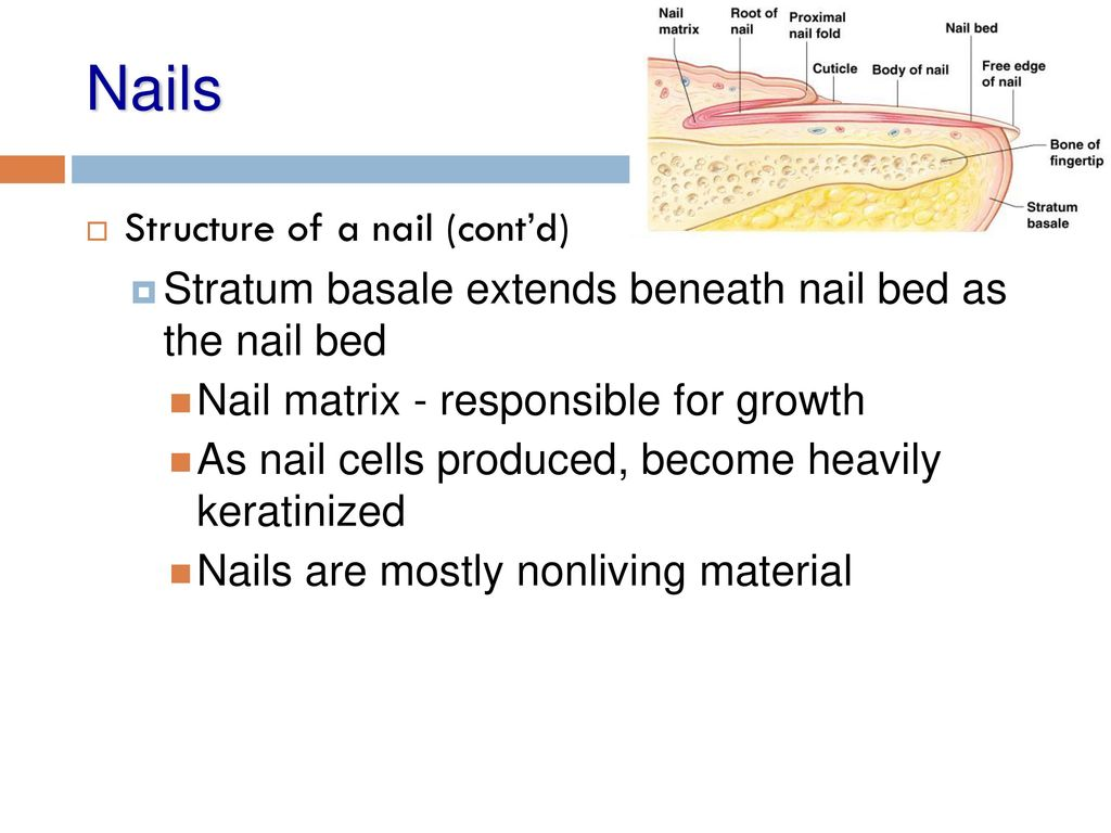 Integumentary System. - ppt download