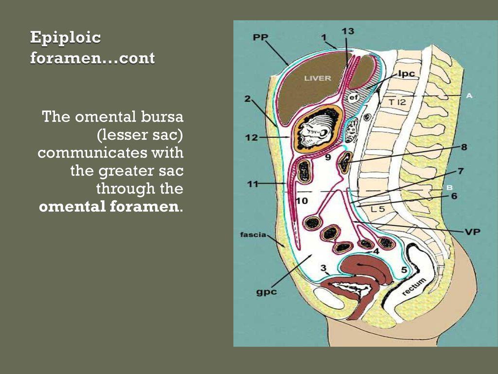 The peritoneum. - ppt download