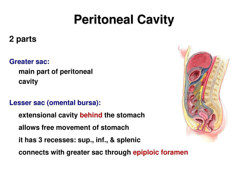 Abdominal Cavity 1: Peritoneum - ppt download