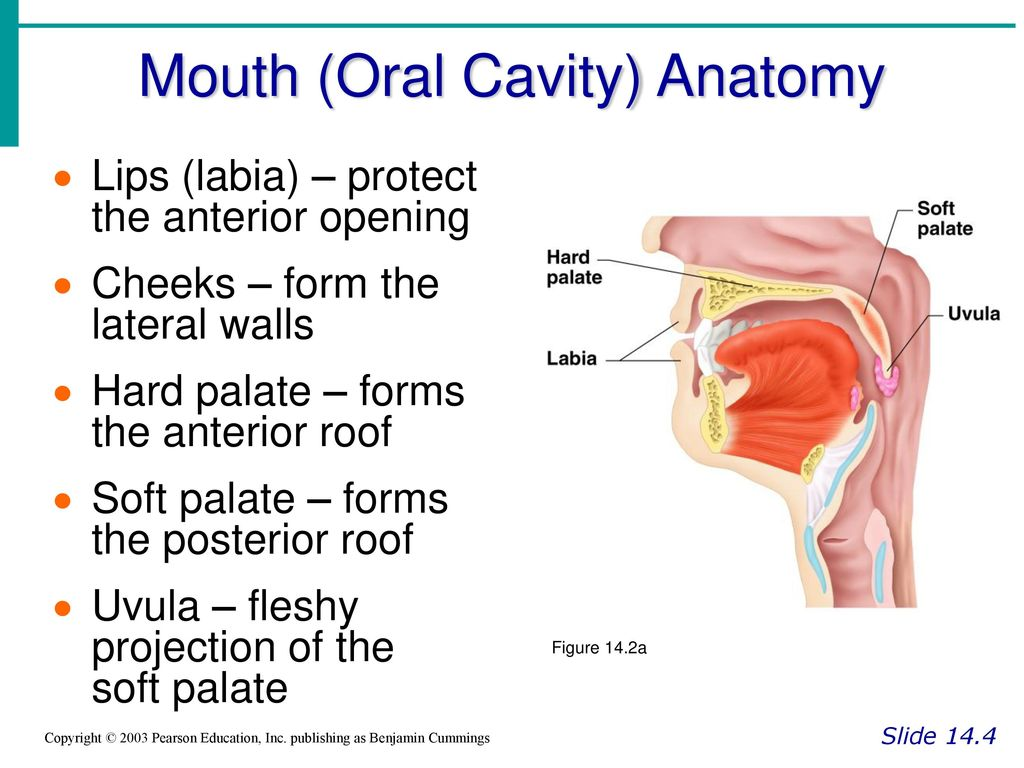 Fancy Mouth Cavity Anatomy Picture Collection - Anatomy and ...