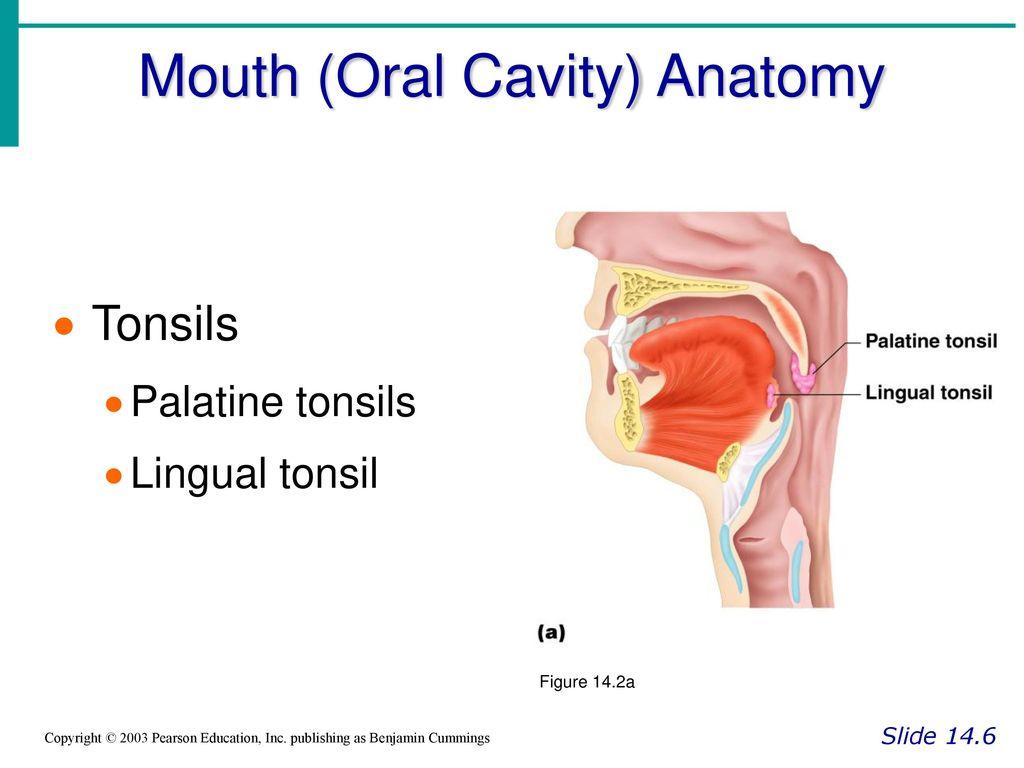 Enchanting Palatine Tonsils Anatomy Gallery - Anatomy and Physiology ...