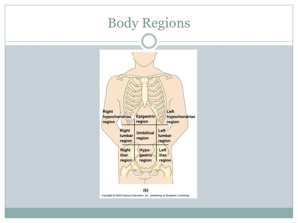 Honors Human Anatomy and Physiology - ppt download