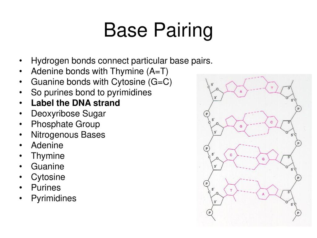 Base Pairing Hydrogen bonds connect particular base pairs.