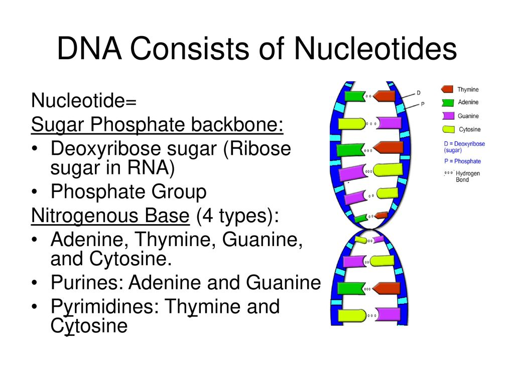 DNA Consists of Nucleotides