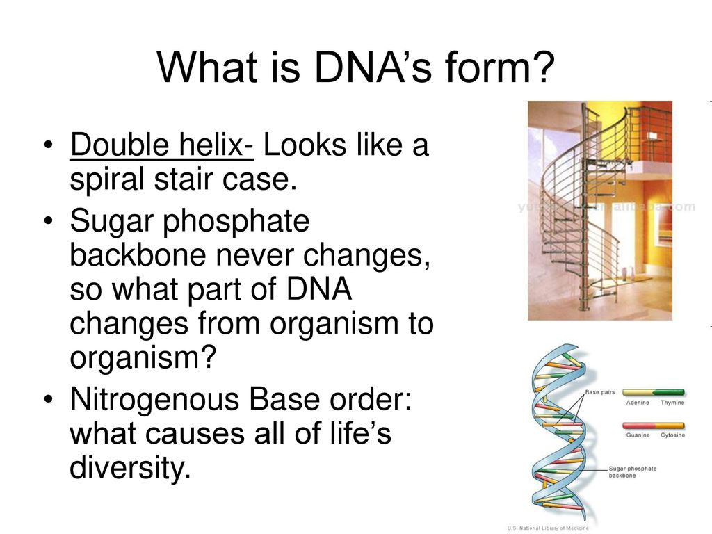 What is DNA's form Double helix- Looks like a spiral stair case.