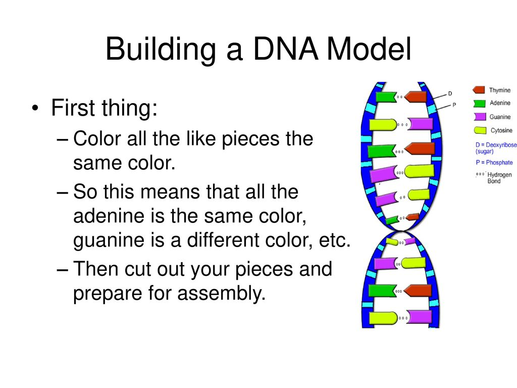 Building a DNA Model First thing: